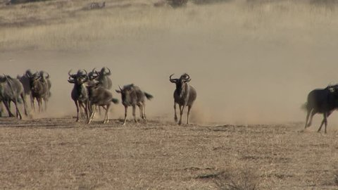 Blue Wildebeest Adult Immature Herd Running Trotting Dry Season in South Africa