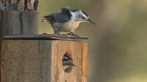 White-breasted Nuthatch Adult Lone in Fall Nest House Box Bird House Birdhouse Competition in South Dakota