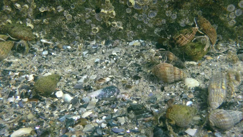 A large number of Small hermit crab (Diogenes pugilator) crawl along the seabed.