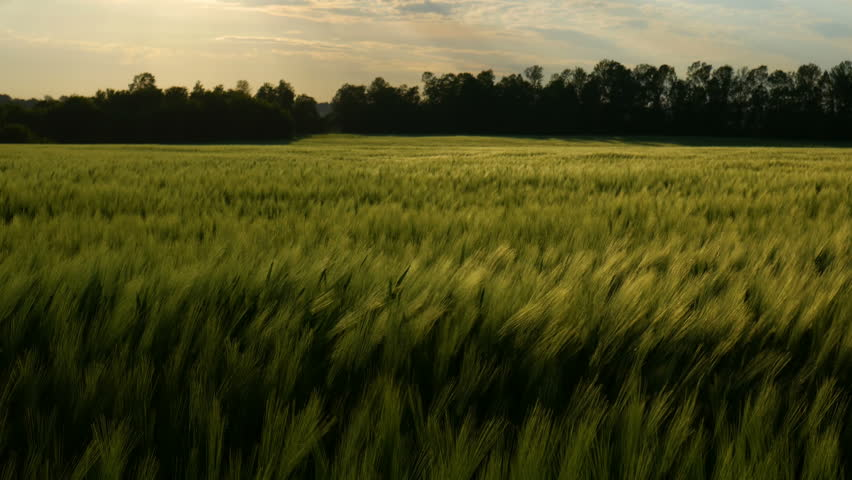 Green wheat stalks blow in the wind. Natural Wheat field. Bueutiful nature wheat field with clouds in sunny day. | Shutterstock HD Video #1011603737