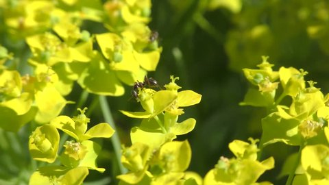Spurge, Seguier's Spurge (Euphorbia seguieriana), ant sucking at nectar glands