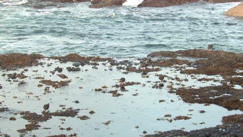 Black Oystercatcher Adult Flock Birds Eating in Fall Tide Pool in Washington