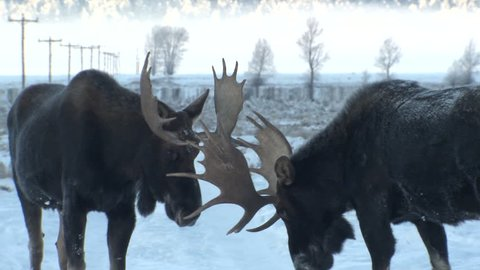Moose Bull Male Adult Pair Knocking Antlers Sparring Audio Sound in Wyoming