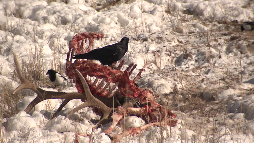 Raven Eating in Winter Carcass Carrion Elk Scavenging in Wyoming
