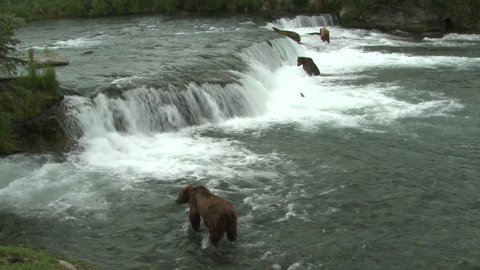 Brown Bear Adult Several Bears Predation Kill Capture Carrying in Summer in Alaska