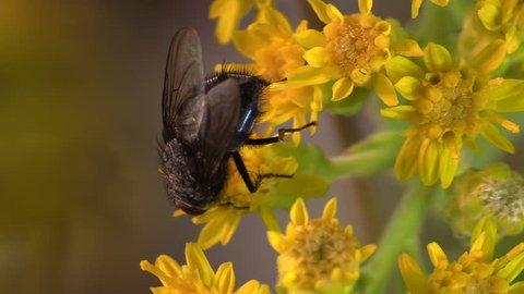 Housefly Adult Lone Grooming Cleaning in Summer Rubbing Legs in South Dakota