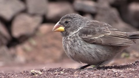 Finch Female Adult Lone Eating in Fall in Ecuador