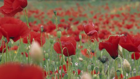 Spring blossoming Poppy field. Papaver is the source of the crude drug opium which contains powerful medicinal alkaloids such as morphine and has been used since ancient times as an analgesic and