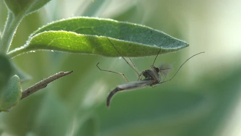 Insect close-up. Gnats and mosquitoes sits on vertical leaf of grass in meadow, United States. Gnat is any of many species of tiny flying insects in the Dipterid suborder Nematocera, Sciaridae.