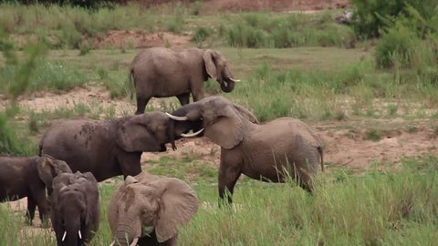 Elephants playing and fighting, Kruger National Park, South Africa