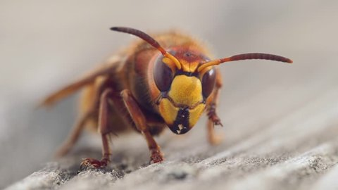 Hornet Animal Insect Hornet Super Close Up Slow Motion