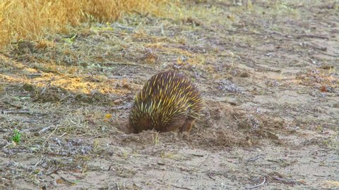 Small Echidna looking for ants in the soil of Australia