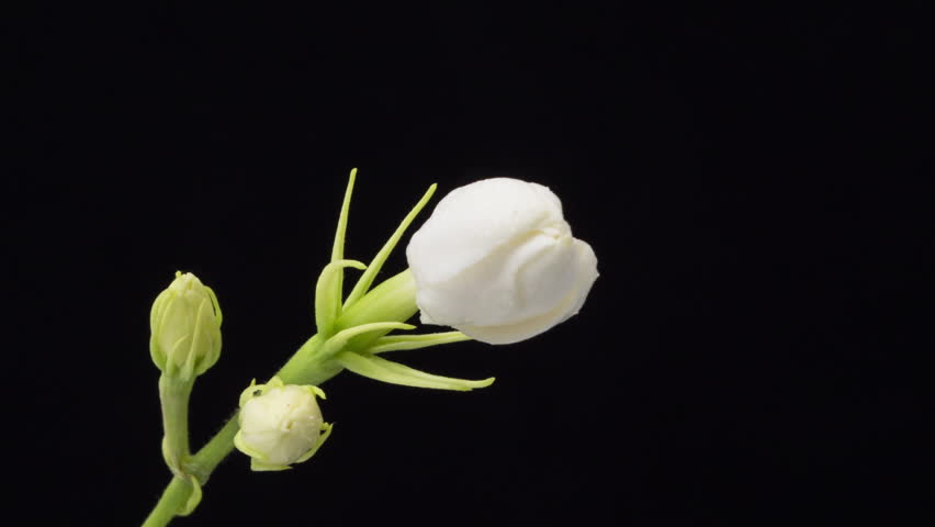 Time lapse of white Jasmine flowers opening on black background