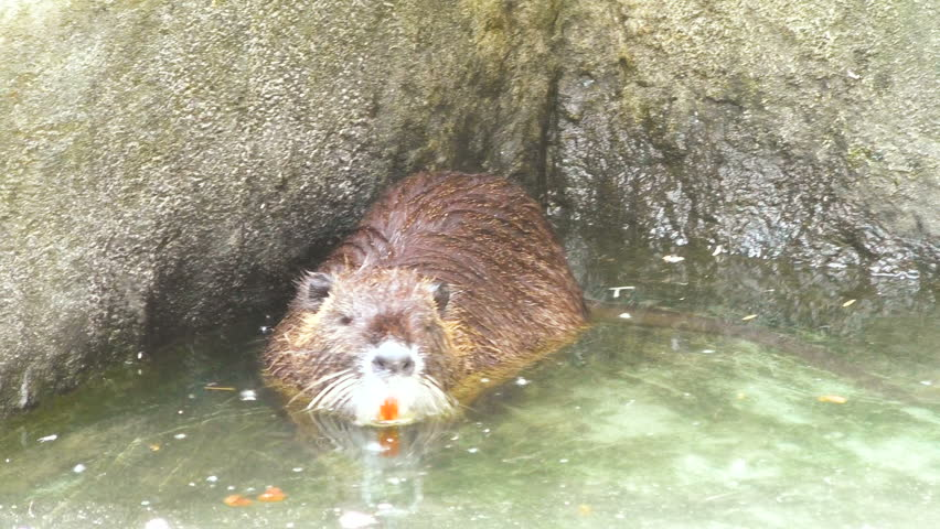 Muskrat floats in the water close up.