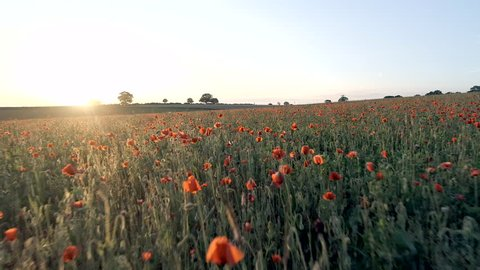 Beautiful Field of Poppies at Sunset