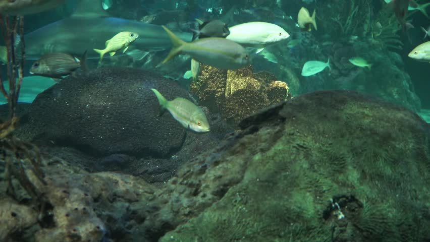 Yellowtail snapper fish school near a coral reef