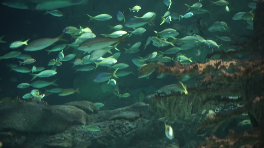 School of yellowtail snapper fish next to a wall of coral