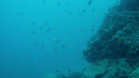 Yellowtail Fusilier swimming above reef dutch angle