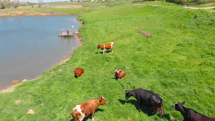 Aerial view of cattle, a group of cows calmly walking and chewing grass on a bright green meadow in a village near a lake. Walking cows on a farm in the summer sun. 4K | Shutterstock HD Video #1011962927