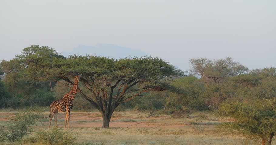 Giraffe in forest with big trees, evening light, South Africa. Wildlife scene from African nature.