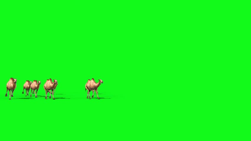 Group of Camels Runs Green Screen Front 3D Renderings Animations