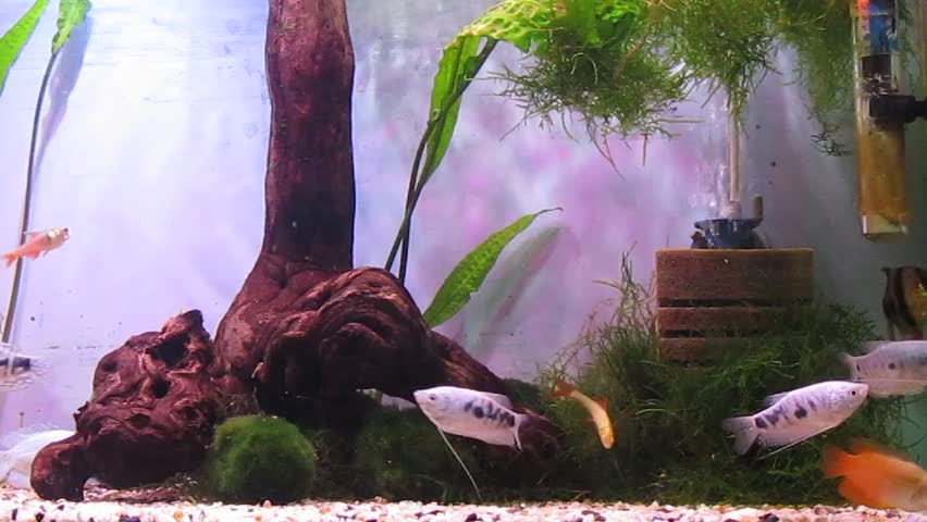 A tropical aquarium with plants and fish Black Tetra (Gymnocorymbus ternetzi), Barbus Tetrazona, Colisa Lalia (dwarf gourami), Tropical Gourami
