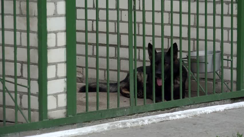 Military working dog (Black  German Shepherds) in the kennel.