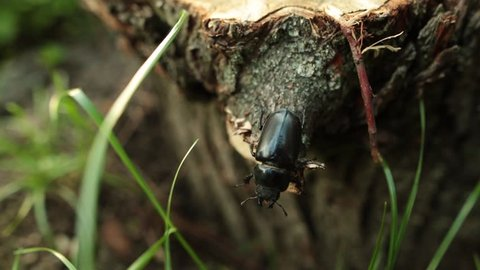 A large black stag beetle crawls through a tree in the forest. Close-up.
