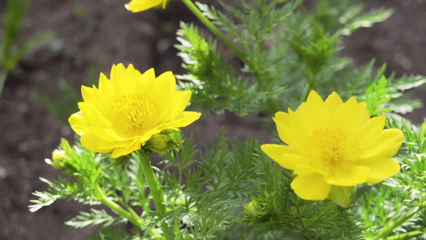 Yellow flowers of adonis grow in the backyard.