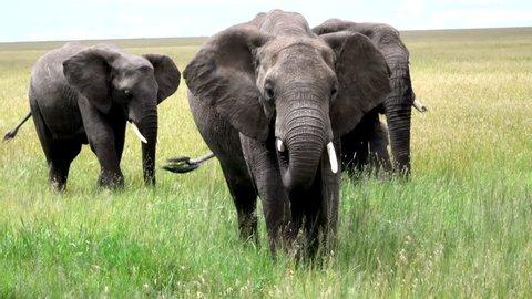 African Elephant Bull, Savannah, Serengeti, Africa