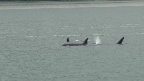 Killer Whales Surfacing