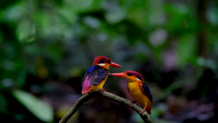 Black-backed or Oriental dwarf kingfisher (Ceyx erithaca) colorful birds  on wooden curve branch in breeding season at Kaeng krachan national park, Thailand
