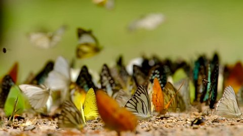 Group of butterflies puddling on the ground and flying in nature, Butterflies swarm eats minerals in Ban Krang Camp, Kaeng Krachan National Park at Thailand