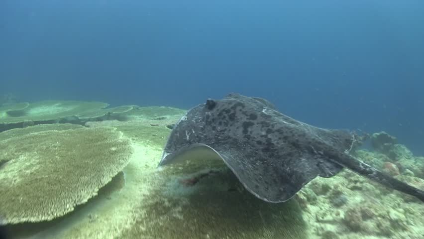 Blotched fantail ray, Marbled Stingray (Taeniurops meyeni) hide under the coral during day time in Indian ocean  Maldives.