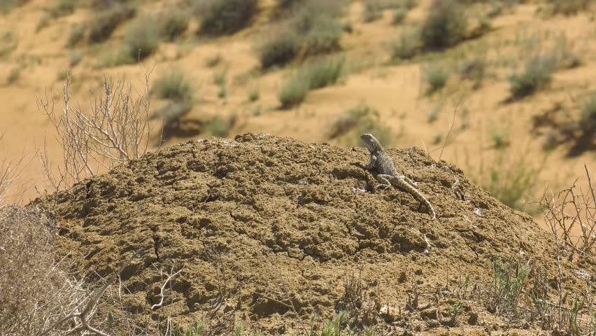 Steppe Agama in habitat.