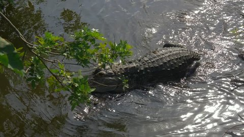 Alligators male and female during mating period mate in water. Gator mating season in Florida. Crocodile mating. Alligators in a swamp in Florida.