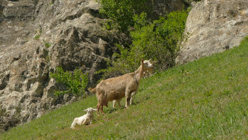 A goat and little goats are munching on the grass.