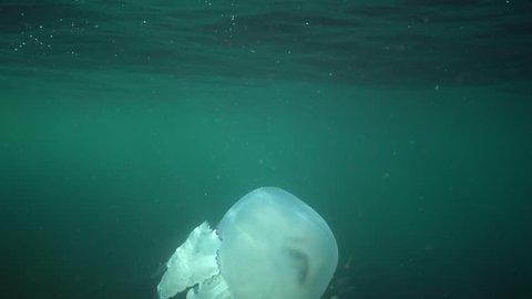 Barrel jellyfish (Rhizostoma pulmo) swims in the water column, medium shot. Black Sea. Ukraine.