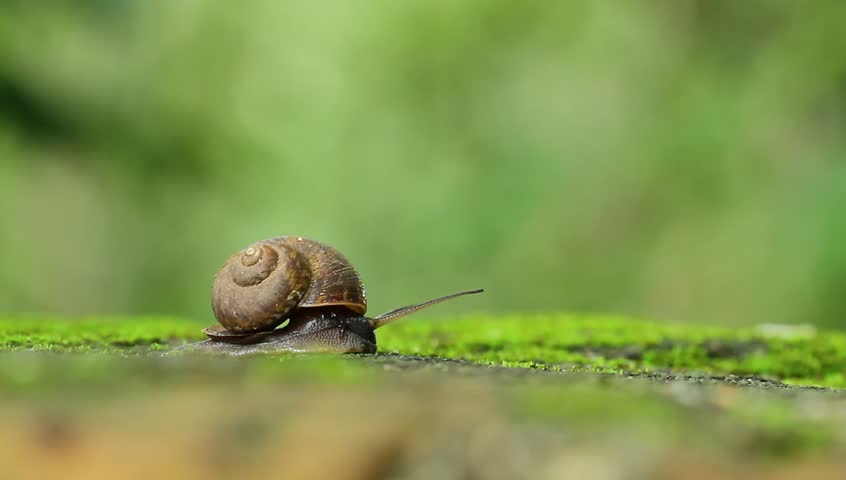 Snail walking on the moss green in nature,Concept work of the team leaders   Shutterstock HD Video #1012414397