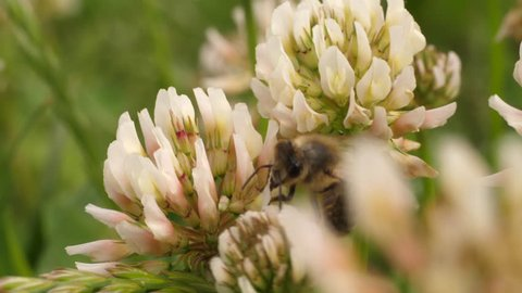 Macro shot of honey bee on clover flowers. Bee crawls from one flower to a second flower, then flies away.