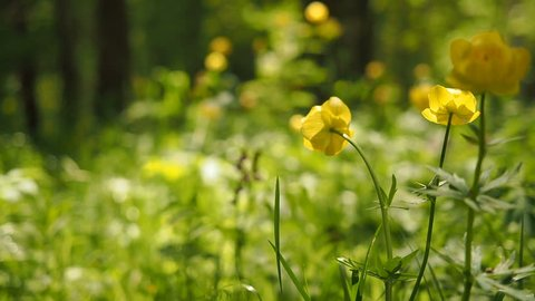 Relaxing Video:Yellow Flowers in Spring. Camera moving through green grass in a meadow with flowers and drops of water on leaves, sun shining in spring. Yellow Flower Meadow.