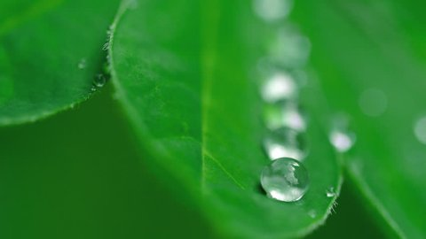 Lupine leaf with water drops macro