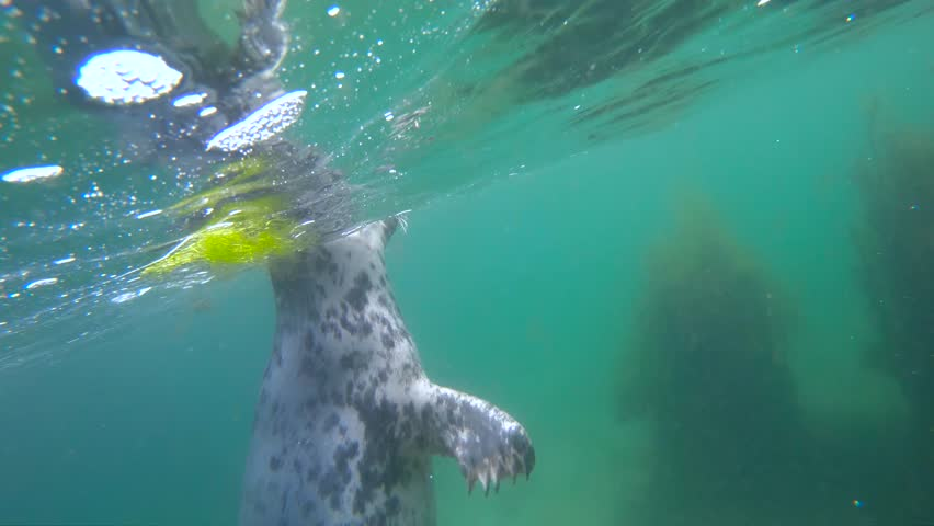 Close up portrait of wild grey seal swimming underwater in the sea near Dalkey Island, Ireland | Shutterstock HD Video #1012497827