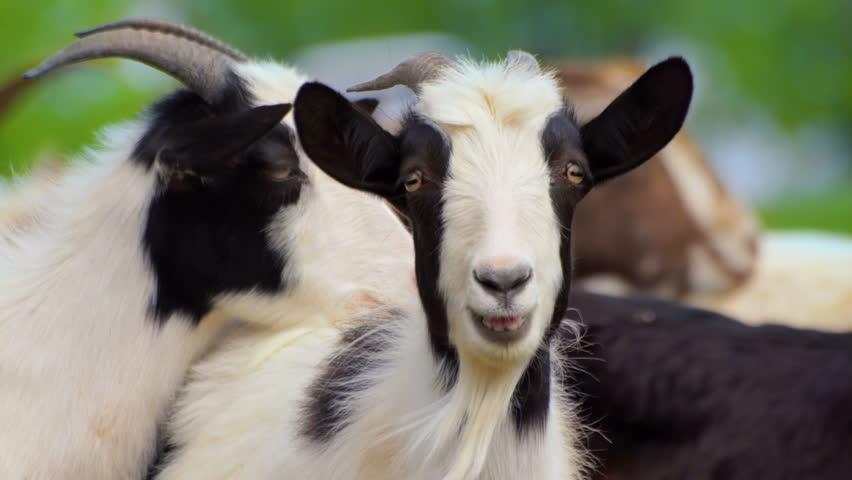 Black and White goat making sound typical noise. Farm animals on pasture. Close-up long-focus lens shot Animal portrait.