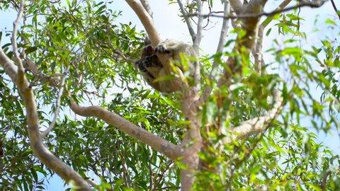 Koala in the Tree Australia Parks near Perth