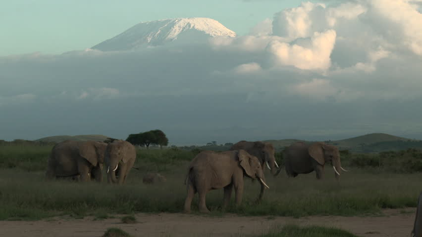 Family of African Elephant (Loxodonta africana) foraging together with Mount Kilimanjaro in background, with sundown, Amboseli N.P. Kenya.
