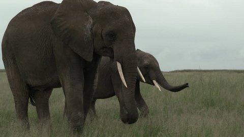 African Elephant (Loxodonta africana) foraging, walking towards camera, Amboseli N.P., Kenya