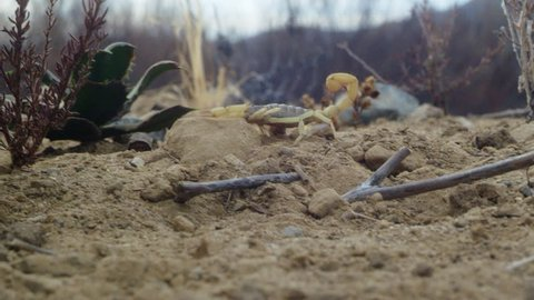 Yellow scorpion crawling on sand with wild plants ,twigs and pebbles around it