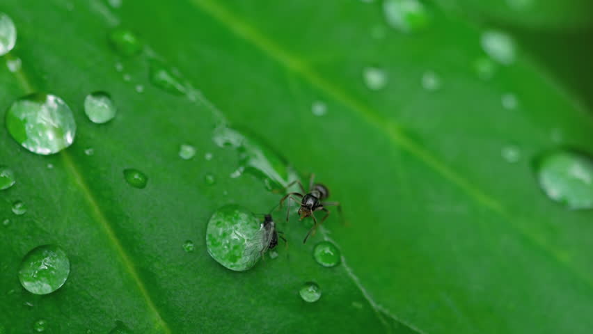 Close-up of an Ant and Aphid on leaf with waterdrops