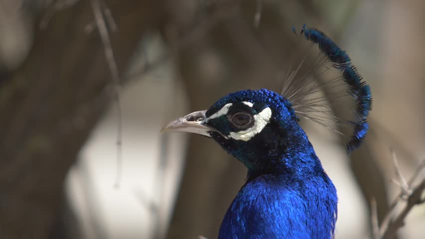 head of a blue peacock in profile and facet